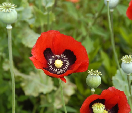Papaver_somniferum_flowers.jpg